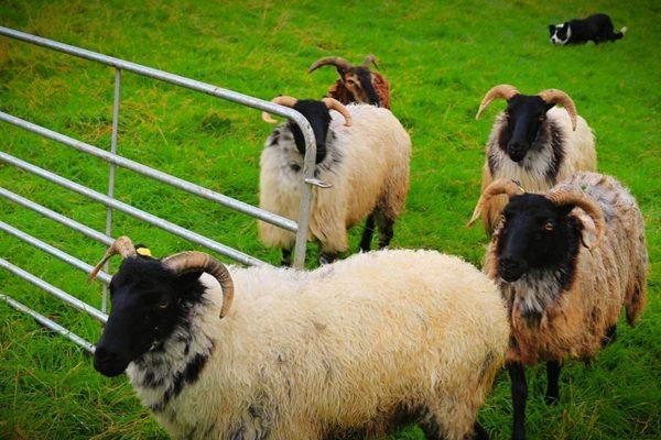 sheepdog-demonstrations (1)