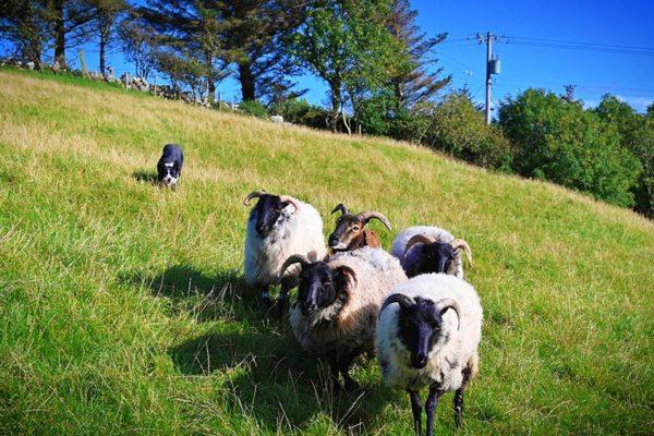 sheepdog-demonstrations (2)