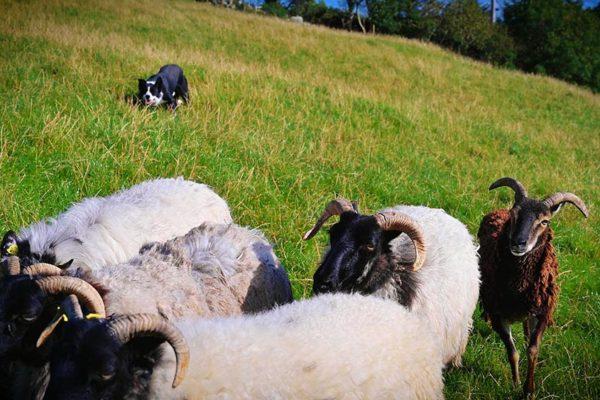 sheepdog-demonstrations (3)