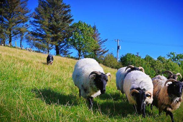 sheepdog-demonstrations (4)
