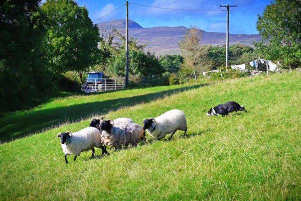 sheepdog-demonstrations (5)
