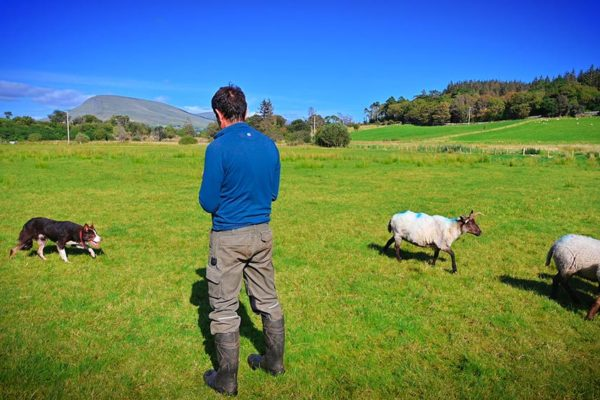 sheepdog-training-boarding (5)